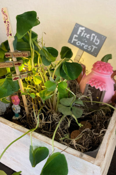 vertical image of the shamrock fairy garden in a white wood box
